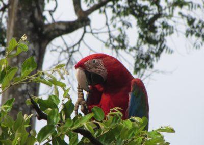 Macaw or Ara