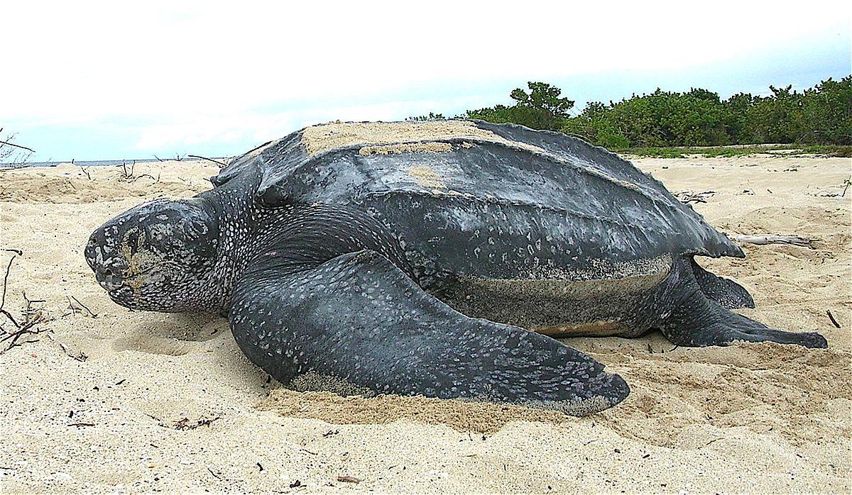 Leatherback_sea_turtle